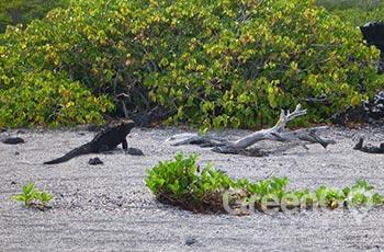 Punta Albemarle - Galapagos