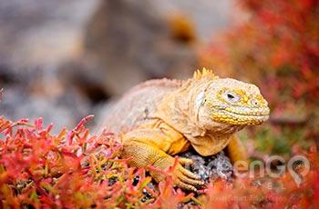 South Plazas Island - Galapagos
