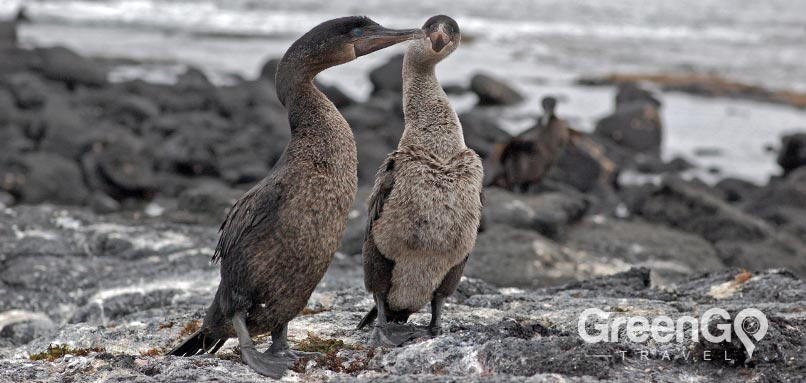 Galapagos animals -Flightless-cormorant