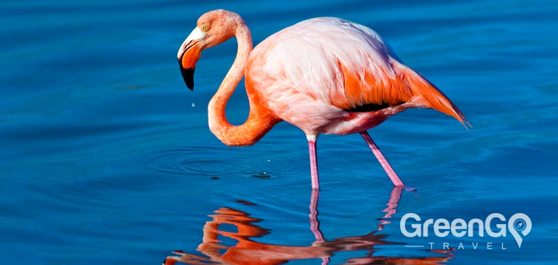 Galapagos - animals-caribbean-flamingo