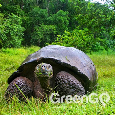 Galapagos animals giant-tortoise