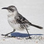 Galapagos-animals-mockingbird