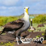 Galapagos animals waved-albatross
