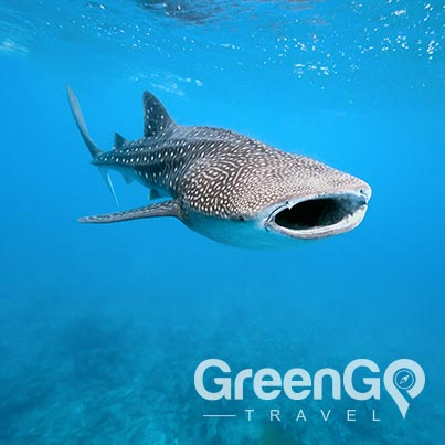 Galapagos-animals-whale-shark