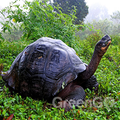 Tortoise extending his neck