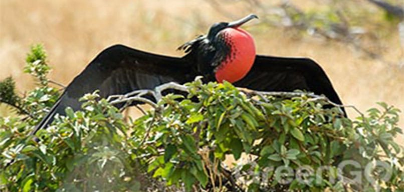 Frigatebird on top of a tree