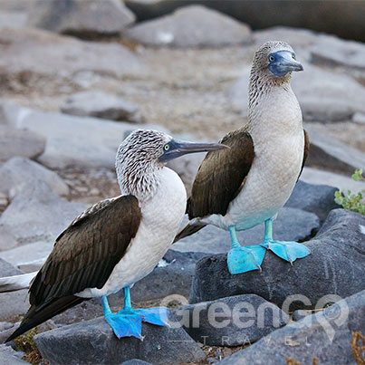 Cormorant-Galapagos-Cruise-in-2019-pair-of-blue-footed-boobies