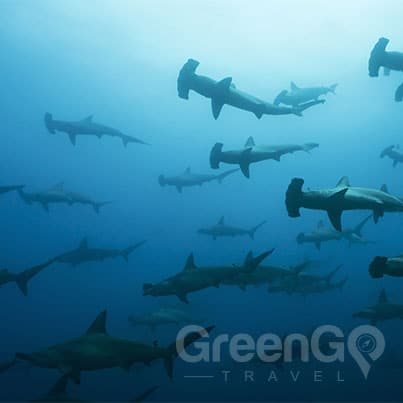 Benefits-Aboard-the-Calipso-Galapagos-Diving-Cruise--School-of-Hammerhead-Sharks