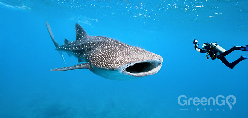 Benefits-Aboard-the-Calipso-Galapagos-Diving-Cruise-Whale Shark
