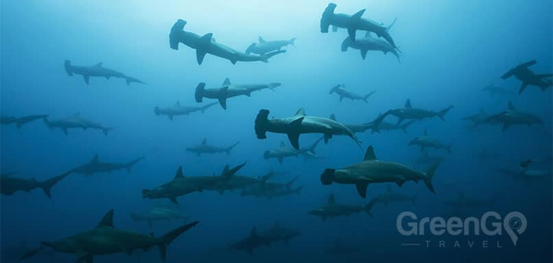 Calipso-Galapagos-Diving-Cruise-School-of-Hammerhead-Sharks
