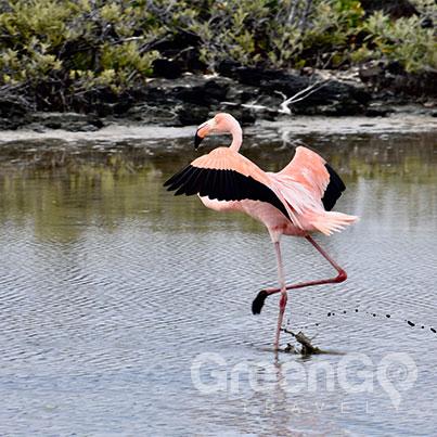 Elite Galapagos Cruise- Galapagos flamingo