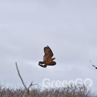 Owl capturing a petrol midair