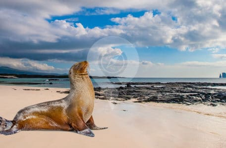 Evolution-in-the-Galapagos---Galapagos-Seal