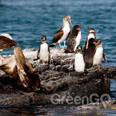 Grand-Queen-Beatriz-Galapagos-Cruise-Highlights-Galapagos-Penguins on Las Tintoreras