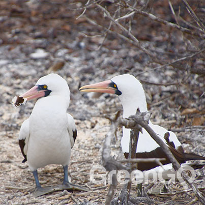 Galapagos-Boobies-sharing-sticks