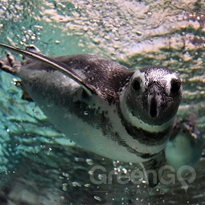 Galapagos-Penguin-swimming