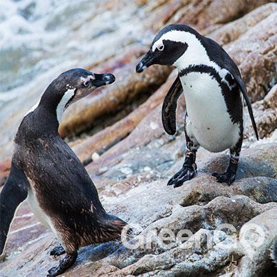Highlights-of-the-Camila-Galapagos-Cruise--Galapgos-Penguins-dancing