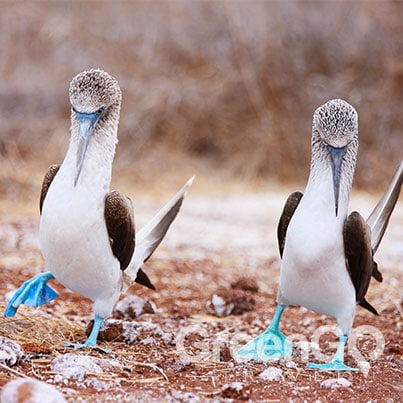 Blue footed booby dance