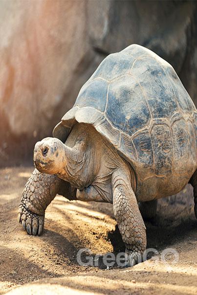 Seaman Galapagos Cruise Honeymoon Packages-Galapagos-Tortoise