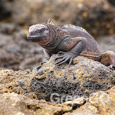Tip-Top-V-Galapagos-Cruise-Highlights-Galapagos-Iguana