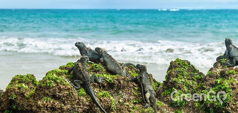 Galapagos Lizards