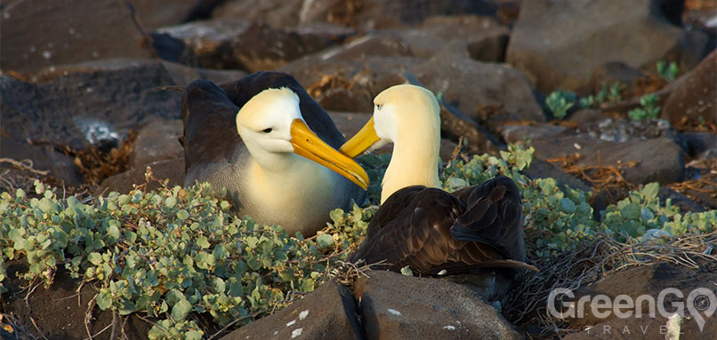 galapagos-weather-by-month-guide-galapagos-galapagos-albatross
