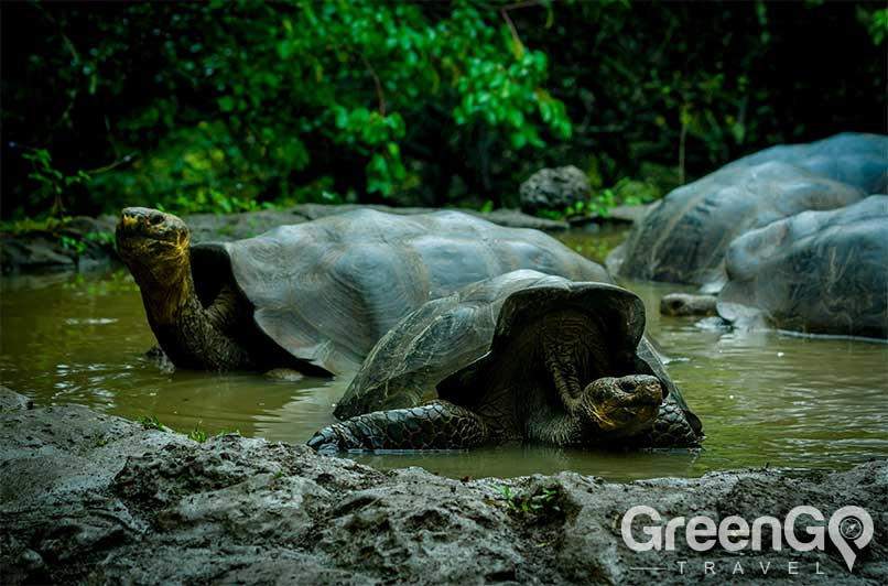 How-many-galapagos-tortoises-are-there-Tortoise-bathing