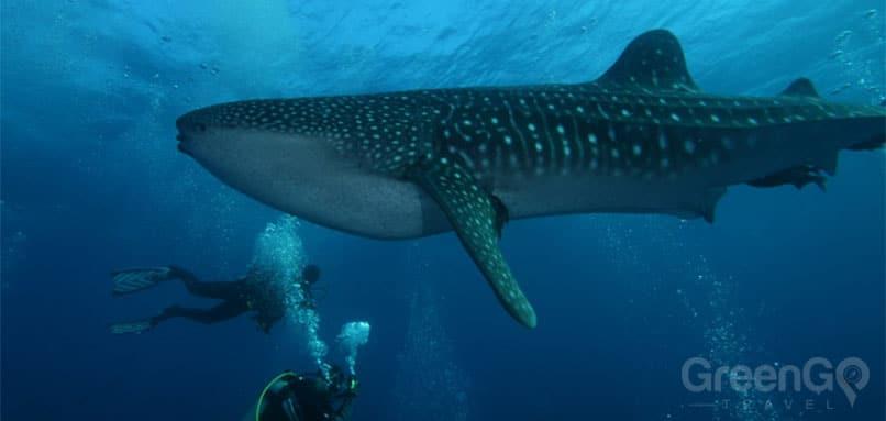 Whale-Shark- Galapagos Sharks