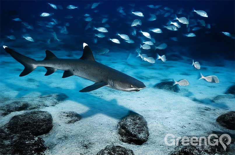 White-Tipped-reef-shark-Galapagos-Sharks